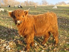 18 Adorable Cow Photos That Prove They Are Just Big Dogs - meowlogy Miniature Highland Cattle, Miniature Cow Breeds, Scottish Highland Cow, Miniature Horses, Zoo Animals, Funny Animals, Cute Animals, Minature Cows, Cow Eyes