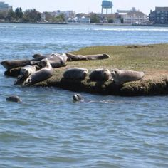 Seals on the bay in Ocean City, I love living here.
