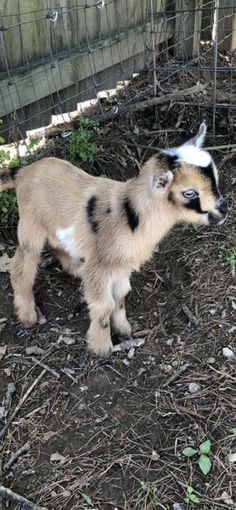 NIgerian Dwarf Goats For Sale – The Jotne - Baby Animals Baby Farm Animals, Baby Animals Super Cute, Baby Animals Pictures, Cute Little Animals, Cute Animal Pictures, Animals And Pets, Funny Animals, Animals For Sale, Pygmy Goats For Sale