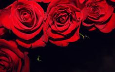 「赤いバラの花びら 黒い背景」の画像検索結果