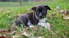 Boston Terrier dog for Adoption in Fairmont, WV. ADN-660835 on PuppyFinder.com Gender: Male. Age: Baby