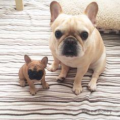 French Bulldog and 'mini me' statue, via batpigandme.tumble it.