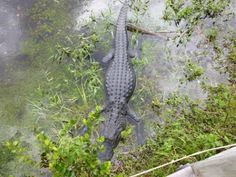 American alligator stretched out full length in the water