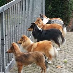 A multitude of Shelties, young and old. Collie Puppies, Collie Dog, Shetland Sheepdog Puppies, Dog List, Rough Collie, Herding Dogs, Shih Tzu Puppy, Sheltie, Beautiful Dogs