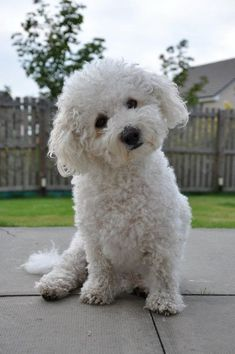 Bichon Frise http://aguidetowhatsinsideyourbeautybag.blogspot.com/2013/12/2013s-naughty-and-nice-beauty-products.html