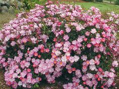 Bodembedekkende Heesterroos Rosa Violet/roze Heester/bodembedekker  ZON! winterhard (bladverliezend)  0.7 m  bloei: jun-okt