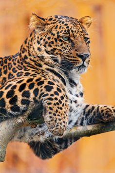 kingdom-of-the-cats:Leopard on the tree (by Tambako the Jaguar)