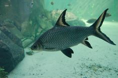 bala shark fish full grown2 - Live tropical fish
