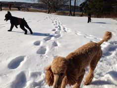 . Poodles, Snow, Dogs, Outdoor, Animals, Outdoors, Animales, Animaux, Doggies