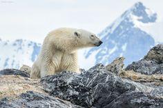 Polar Bear (Ursus maritimus) female by Allan Hopkins
