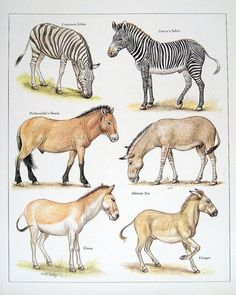 Common Zebra, Grevy's Zebra, Przewalski's Horse, African Ass, Kiang, & Onager - 1984: