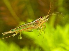 amano by Peter M4 | Flickr - Photo Sharing!