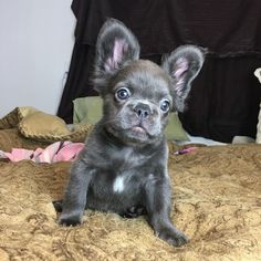 This is a Furry Blue French Bulldog Puppy, he has a recessive Corgie gene for long hair, the French Bulldog Breed was created by breeding English Bulldogs, Corgies, and Chinese Pugs in the mid 1800's.