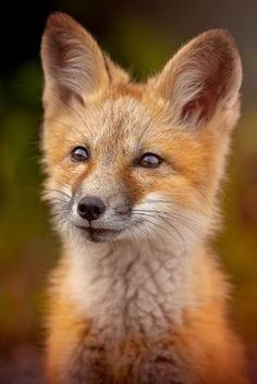 Red Fox Cub by Ken Bruce...The look in this fox eyes is pure magical... by marylou
