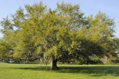 Live Oak Tree Care: Learn How To Grow A Live Oak Tree -  If you want a graceful, spreading shade tree that is an American native, live oak might be the tree you are looking for. Get more information about how to grow a live oak tree and live oak tree care in this article.