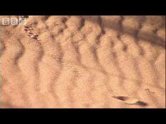 Strange sounds in the desert reveal a cute Golden Mole - Animal Camera - BBC