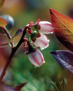 Lowbush Blueberry, acid soil, 2 - 7, one foot tall. Plants that Taste as Good as they Look | Fine Gardening