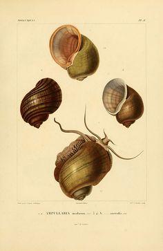 dendroica:    n340_w1150 by BioDivLibrary on Flickr.  Via Flickr: Voyage dans l'Amérique Méridionale. v.9. Paris :Pitois-Levrault,1835-47.biodiversitylibrary.org/item/50740