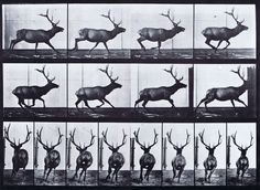 Eadweard Muybridge, Animal locomotion, Plate 695, Elk, 1880s