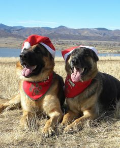 Christmas German Shepherds