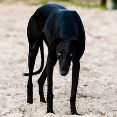 Beautiful black greyhound.