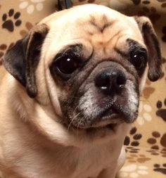 Meet Marvin, an adoptable Pug looking for a forever home. If you're looking for a new pet to adopt or want information on how to get involved with adoptable pets, Petfinder.com is a great resource.
