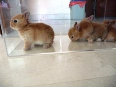 researching pets for me :) netherland dwarf rabbits...