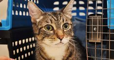 As of earlier this month, the ASPCA Animal Hospital has performed nearly one procedure per day for urinary blockage in cats in 2015. This common health issue recently impacted an eight-year-old male tabby named Toby, who came to the Hospital for treatment.
