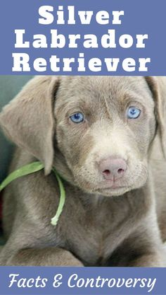 Worldwide controversy surrounds the Silver Labrador Retriever. Is it a pure bred Lab? The result of Weimeraner outcrossing? Read on to find out more...