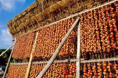 persimmon drying 干し柿 茅葺屋根による伝統的手法