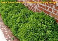 Shrubs Green Velvet Boxwood/Buxus - landscaping shrubs - *Availability Status : In stock Brick Landscape Edging, Green Landscape, Landscape Design, Garden Design, Landscape Materials, Landscape Plans, Boxwood Landscaping, Boxwood Hedge, Front Yard Landscaping