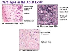 10 Best Hyaline Cartilage Images Hyaline Cartilage Cartilage