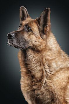 German Shepherd- Incredibly Handsome !