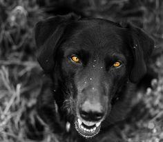 New free stock photo of dog blur labrador