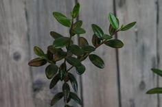 Mr. Greens Welt: Olivenbaum Update April