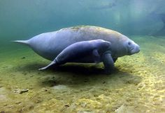 Manatee's are so cute and gentle!