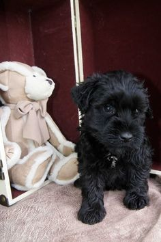 Black #Miniature #Schnauzer pupster