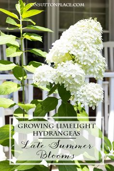 Growing Limelight Hydrangeas | Late Summer | Tips for getting huge blooms in late summer from a DIY gardener.