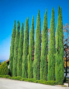 Best Privacy Trees For Small Backyard Reasonably Priced Cypress Trees For Backyard Privacy Privacy Landscaping, Backyard Privacy, Privacy Trees, Privacy Hedge, Best Trees For Privacy, Privacy Plants, Italian Cypress Trees, Landscape Design, Garden Design