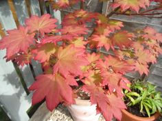 Japanese maple tree in the garden