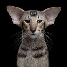 oriental shorthair. strangest cat i have seen since I got used to seeing the Rex cat years ago!