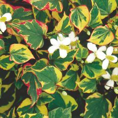 Chameleon Plant (Houttuynia cordata)   My Garden Life