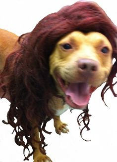 Abbagail, an adore-a-bull, adopt-a-bull pit bull. Abbagail is available through the SPCA of ANne Arundel County, and let's be honest, who can pass up a pocket pit bull in a wig?