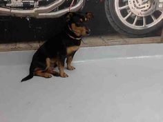 04/30/15-PASADENA,TX- Pasadena Animal Shelter 12 hrs · This DOG - ID#A112075 I am a male, black and brown Dachshund mix. The shelter staff think I am about 1 year old. I have been at the shelter since Apr 27, 2015. Visit me at Pasadena Animal Shelter 5150 Burke RD, Pasadena, TX 77504 281-991-0602