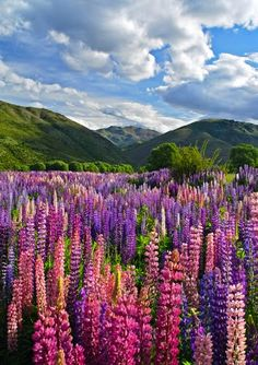 South Island ,New Zealand ~ Lupines about 2 feet tall ,and go on for miles . Gorgeous !