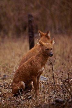 Animals From India wolf dhole indian wild dog bandhavgarh india