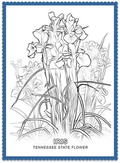 Tennessee State Flower Coloring Page - Print or Color Online - Iris