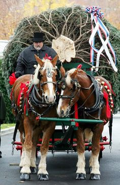 A matching team of Belgian horses delivered the official White House Christmas tree to 1600 Pennsylvania Avenue on Monday, Nov. to kick off the holiday season in the nation's capitol. White House Christmas Tree, Christmas Scenes, Merry Little Christmas, Noel Christmas, Country Christmas, Winter Christmas, Vintage Christmas, Christmas Horses, Christmas Christmas