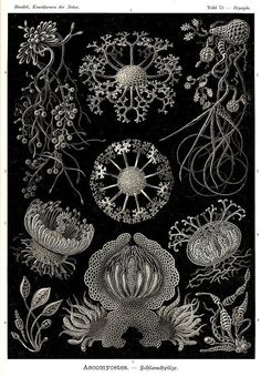antique victorian ascomycetes aquatic fungi illustration ernst haeckel digital download