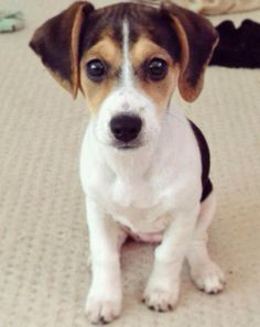 Phoebe - a cross between a beagle and a Jack Russell terrier.